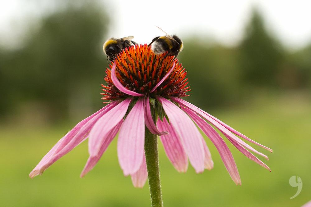 Bumblebee Duett